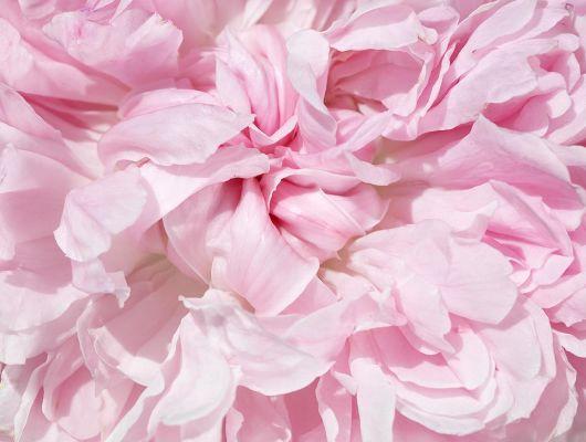 Дизайнерское фотопанно под заказ с большим рисунком в виде нежной распустившейся розы где купить, What's Your Story, Индивидуальное панно, Фотообои
