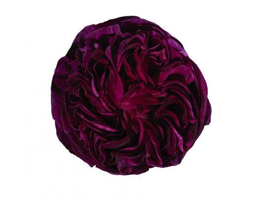 Фотопанно под заказ с фотографией огромного бутона розы ярко винного цвета на белом фоне, What's Your Story, Индивидуальное панно, Фотообои
