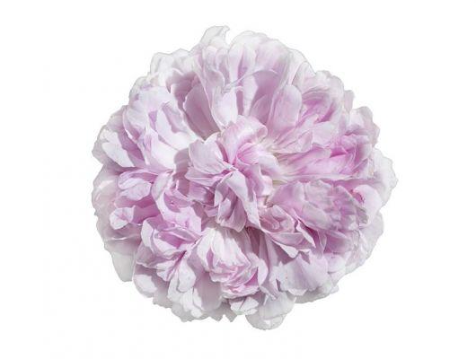 Фотообои под заказ с пышным бутоном розовой розы на кипельно белом фоне купить в Москве, What's Your Story, Индивидуальное панно, Фотообои
